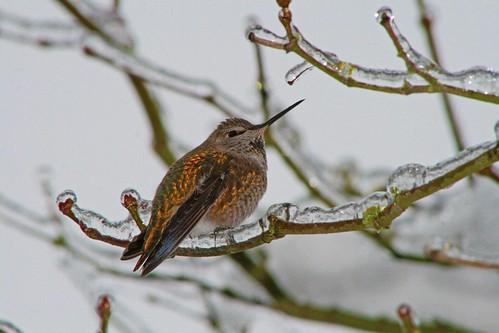 winter snow bird ice nature hummingbird wildlife icestorm kentwa featheryfriday shesnuckinfuts january2012 seattleicestorm