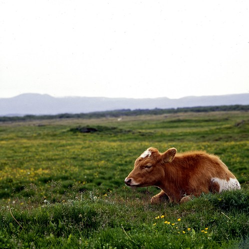 "Image titled ""Cow, Mývatn, Iceland."""