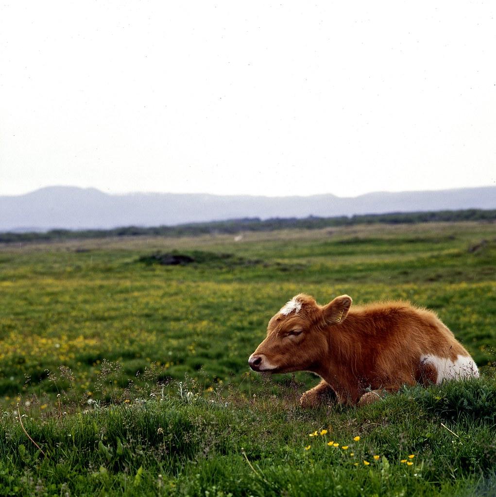 "Image titled ""Cow, Mývatn, Iceland."""
