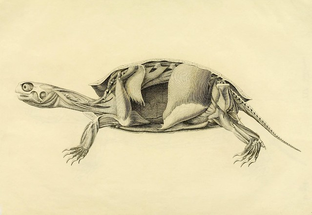turtle anatomy engraving
