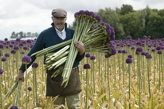 allium-ambassador-cutflowerman[1]