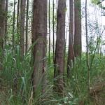 Eucalyptus urophylla plantation