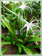 Hymenocallis caribaea at our inner garden border