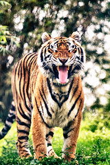 [Free Images] Animals 1, Tigers, Animals - Open One's Mouth ID:201203241000