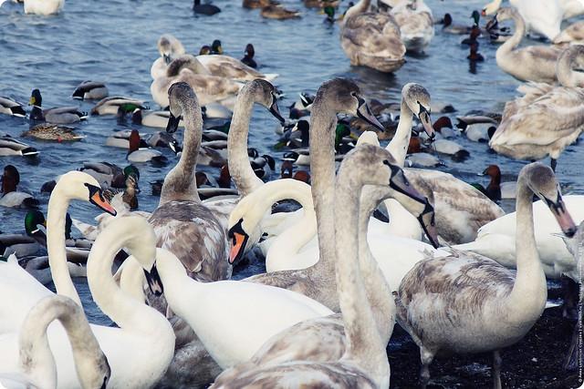 swans-24