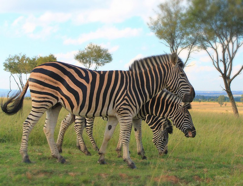 Zebras - Joburg