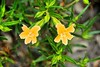 Orange Bush Monkeyflower