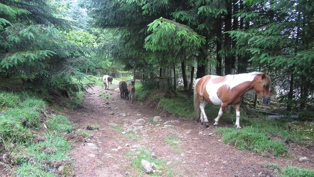 Ponies in Roughtor Plantation