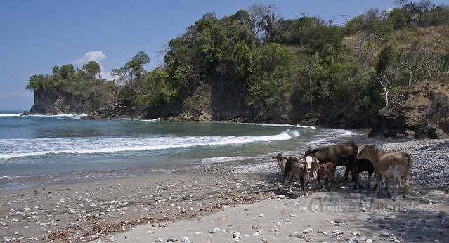 cows 0001 beach, Manuel Antonio, Costa Rica