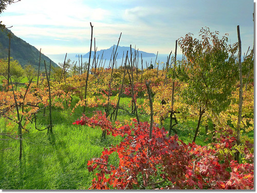 autumn in the vineyards facing Capri