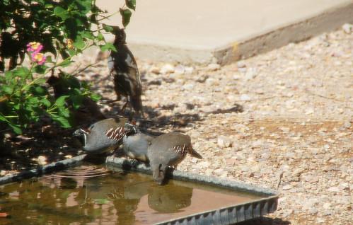 quail drinking