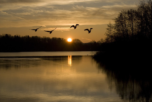 park trees sunset lake canada reflection silhouette backlight sunrise river landscape flying duck annarbor symmetry goose utata waterfowl gallup huron waterscape