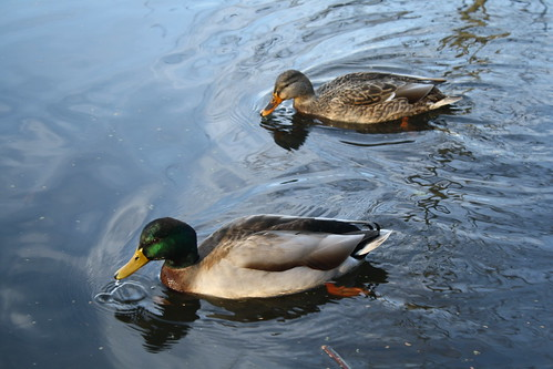 [328/365] Ducks by goaliej54