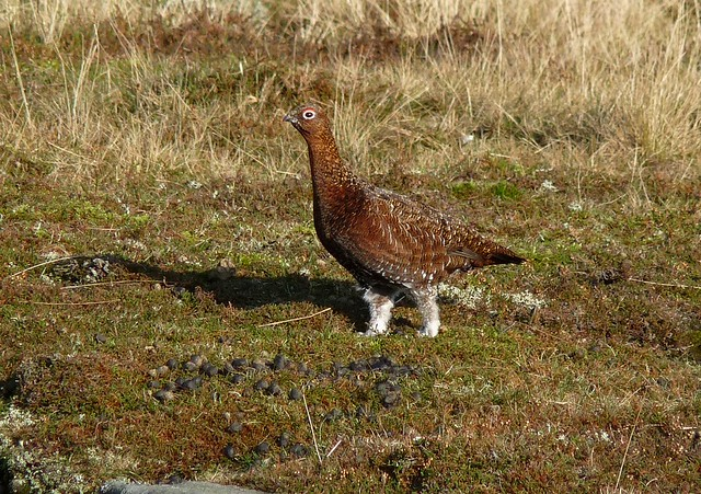 25348 - Red Grouse, Yorkshire