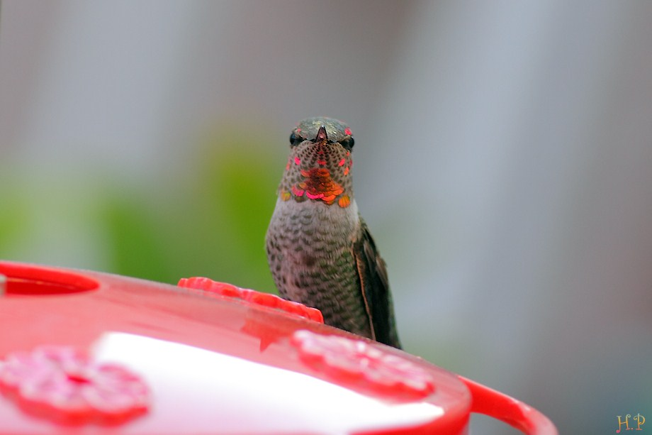 Anna's Hummingbird 120211-7