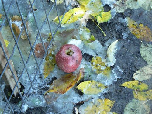 pomme dans la neige.jpg