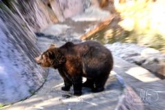 animal(1.0), american black bear(1.0), zoo(1.0), mammal(1.0), grizzly bear(1.0), fauna(1.0), brown bear(1.0), bear(1.0), wildlife(1.0),