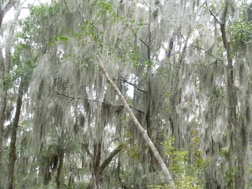 Trees Weeping Ghosts... or at least so it seems to me