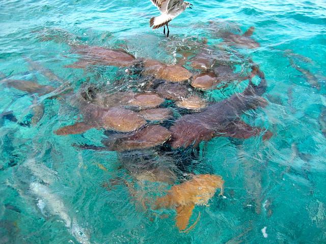 sharks of belize