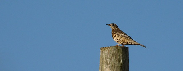 25422 - Mistle Thrush, Nitten Field