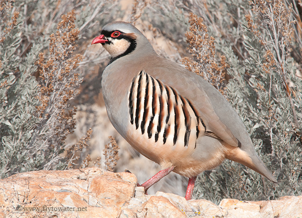 Wild Chukar Partridge - Spitting Distance