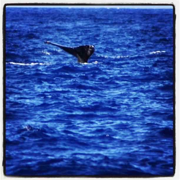 #humpback #whale #maui #hawaii