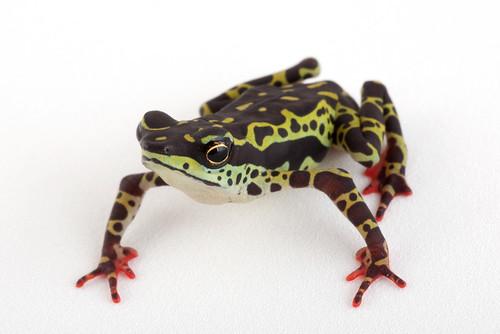 Click para más información sobre Atelopus spumarius