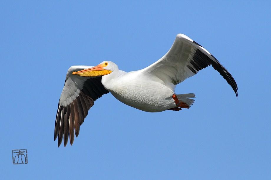 American White Pelican 010112-2