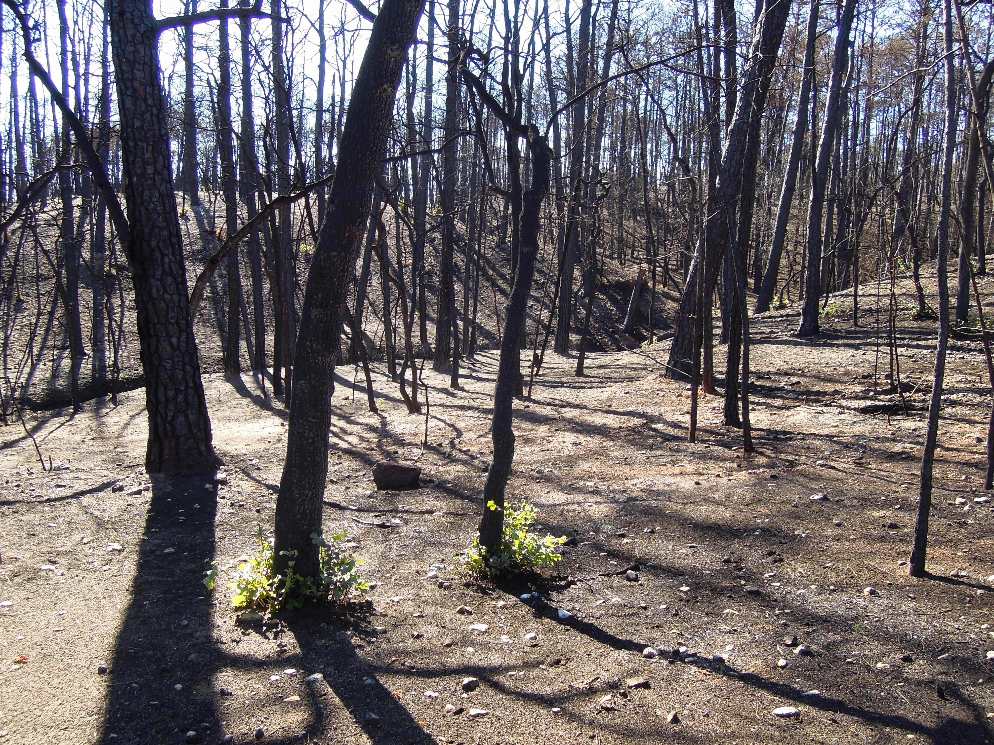 Bastrop State Park After The Fire Flickr Photo Sharing