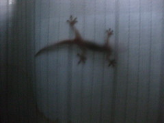 Lizard on Curtain