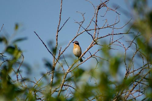 summer bird suomi finland whinchat canonef75300mmf456iiiusm