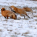 Renards Roux Red Foxes 5 Janvier 2012
