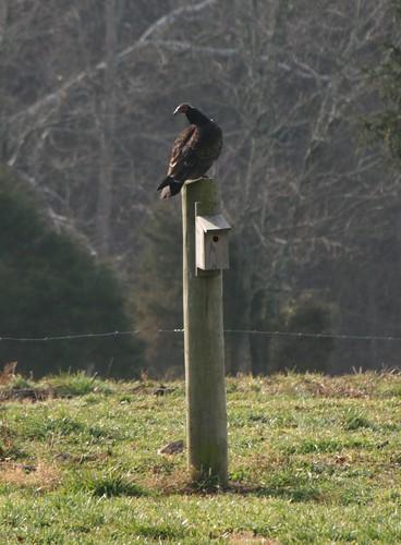 Vulture2Dec2011