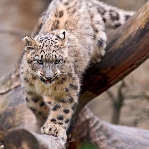 無料写真素材, 動物 , 豹・ヒョウ, 雪豹・ユキヒョウ