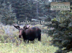 Thumbnail image for Moose Viewing All Seasons at Cabot Shores along the Cabot Trail