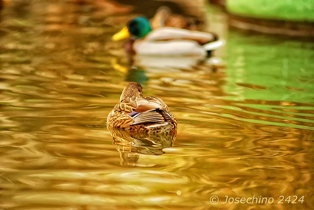 Baño dorado II