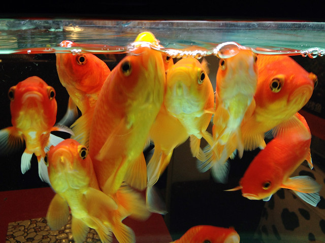 Red carp in the glass fish tank flickr photo sharing for Carp in a fish tank