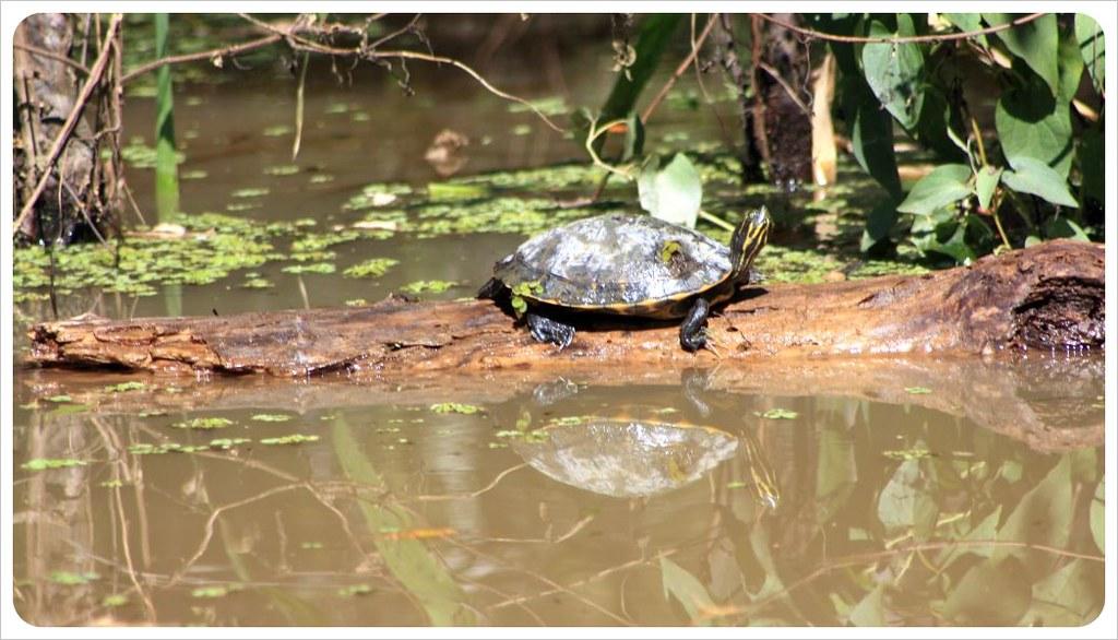 louisiana turtle & swampland