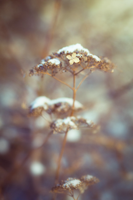 Snow-topped Hydrangea