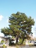 Love the shape of this pine tree