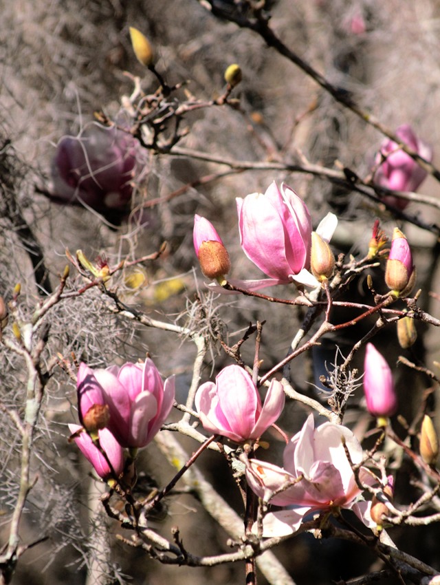 Magnolias in bloom with spanish moss.