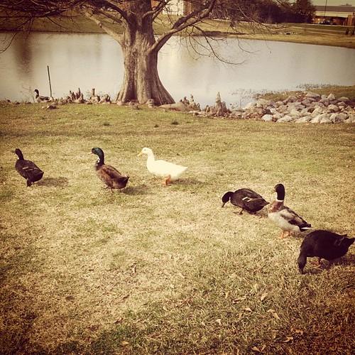 Quack quack here and quack quack there