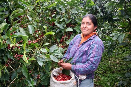 Woman coffee farmer picking coffee cherries, Nicaragua