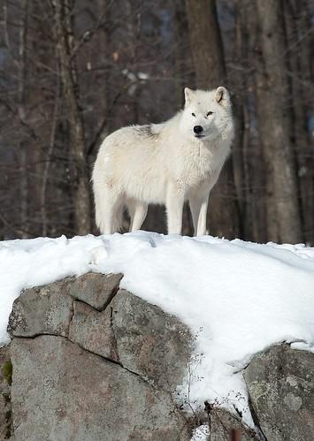 White Wolf by VLADIMIR NAUMOFF