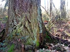 Big tree; strange markings