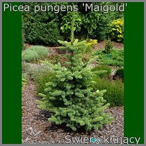 Picea pungens 'Maigold' - Świerk kłujący