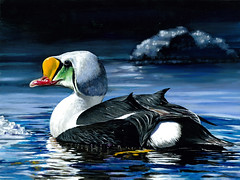 Winning acrylic painting of a king eider.