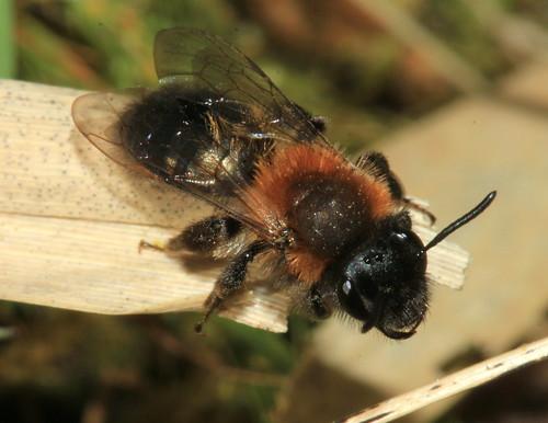 Andrena fulva 26425