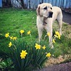 #steve the #flower protector #dog #lab #cute @acartine1125 by michaelguccionephoto