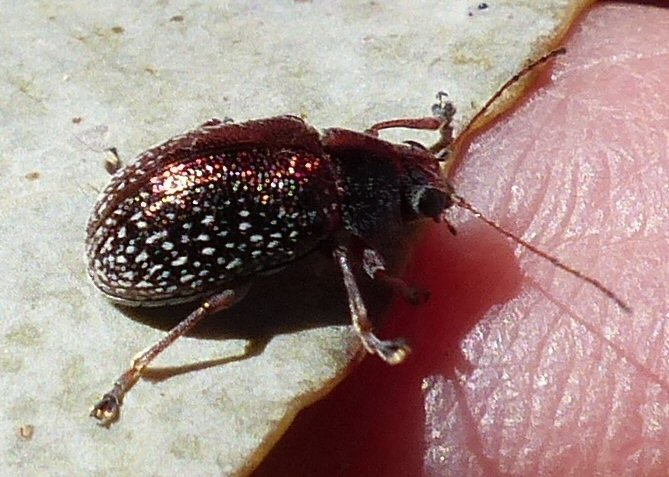 Leaf beetle of genus Edusella